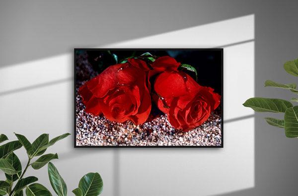 0148 So Red The Roses - Ramexempel - Naturfoto - Konstnär: Bengt Grönkvist