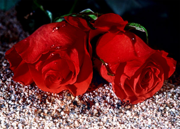 0148 So Red The Roses - Naturfoto - Konstnär: Bengt Grönkvist